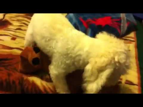 Craze Dog Having It (with stuffed animal)