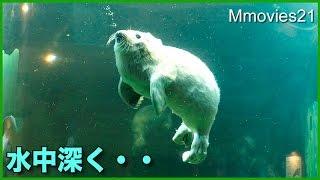 水中深く沈んでいくゴマフアザラシの赤ちゃん 5日齢 Baby Spotted Seal