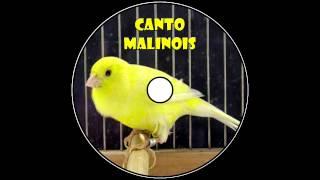 Canto Canario Malinois