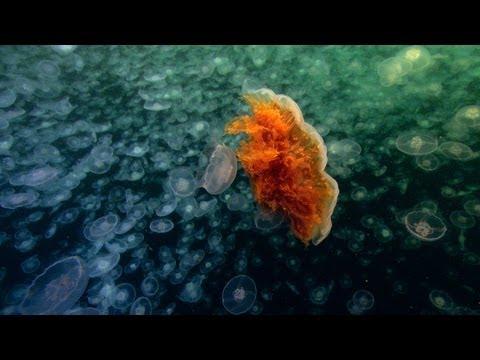 World's Largest Jellyfish   North America