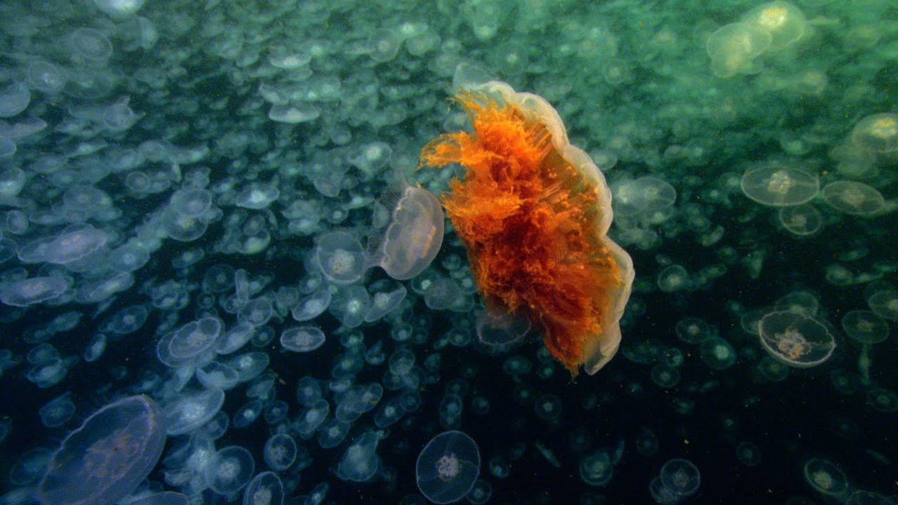 15 Facts About the Lion's Mane Jellyfish | Mental Floss