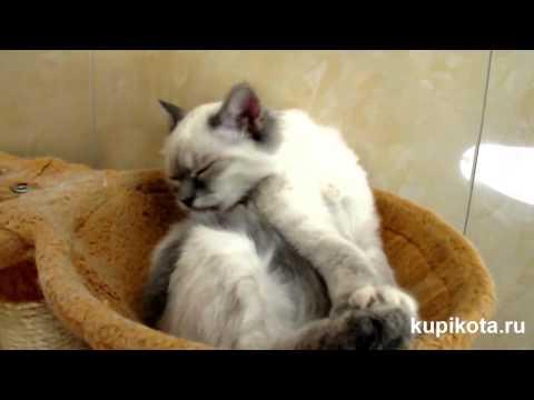 Невская маскарадная кошка - породы кошек