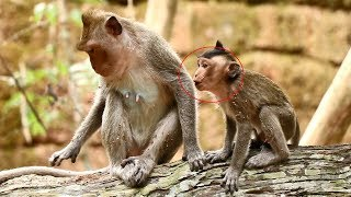 Baby monkey Pink crying loudly for milk, baby monkey unhappy with his mom crying loudly