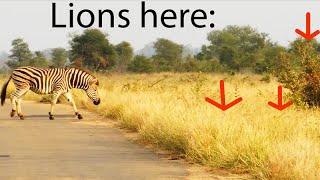 Lions Miss the Easiest Zebra Meal Ever! - Latest Wildlife Sightings