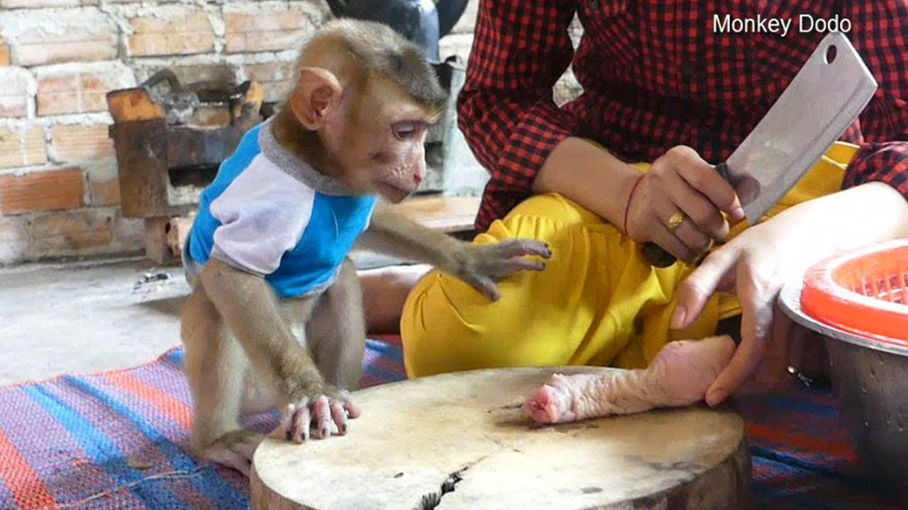 Monkey Dodo So Worry About His Hand When Mom Cute Chicken Meat