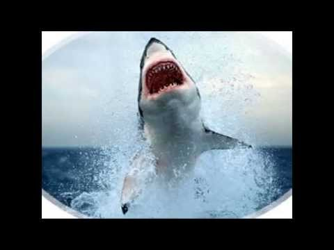 sharks-jumping:-massive-jumps-out-of-the-water!---massive-shark-jumps
