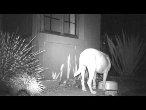 Porcupine bullying the dog