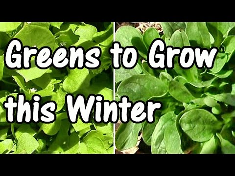 2-min.-tip:-how-&-when-to-plant-my-favorite-winter-greens–mache-&-claytonia