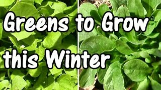 2 Min. Tip: How & When To Plant My Favorite Winter Greens–mache & Claytonia