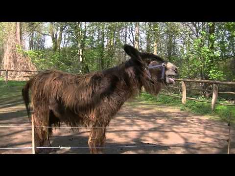 Esel Schreit iaiaia
