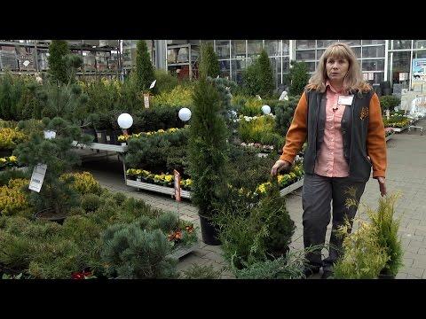 видео: Уход за растениями. Хвойные: выбор, посадка, уход // forumhouse