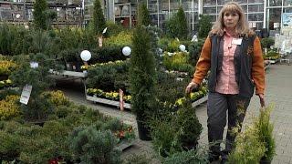 Хвойные растения. Выбор и уход // FORUMHOUSE(Больше информации по теме на http://www.forumhouse.tv Красивые, а главное, неприхотливые хвойные растения справедливо..., 2015-05-06T10:18:54.000Z)