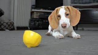 Cute Puppy vs. Lemon: Cute Puppy Potpie
