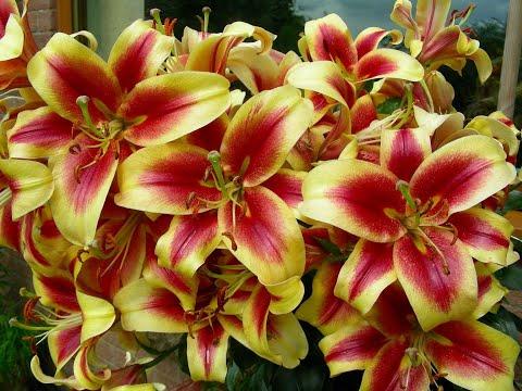 How to grow beautiful perfumed Oriental Lilies
