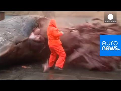 Video: Explosion d'une baleine morte aux iles Feroe - images violentes