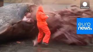 Video : Explosion d'une baleine morte aux iles Feroe - images violentes
