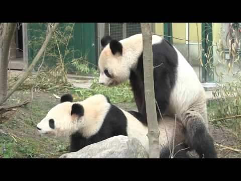 Giant Pandas mate in captivity for the first time in Europe