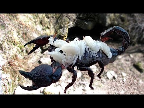 scorpion-giving-birth-to-many-babies-and-carring-baby-on-her-backs