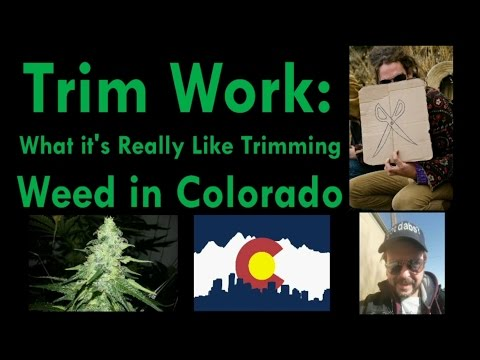 Trim Work: What It's Really Like to Trim Weed in Colorado (Cannabis)