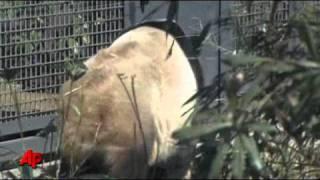 Raw Video: Pandas Debut at Tokyo Zoo