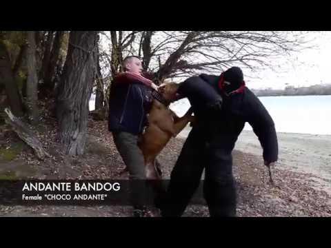 "andante-bandog-female-""choco-andante""-her-socond-training-day!"