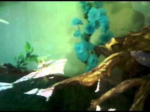 Mi acuario comunitario de carpas carp koi gupis tortugas y for Carpas para acuario
