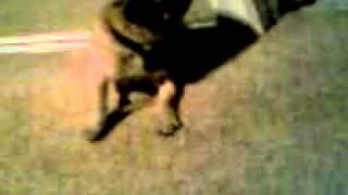 Crazy Pug