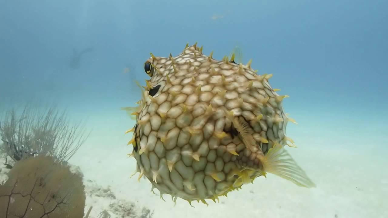 20 pesce palla youtube for Pesce palla immagini
