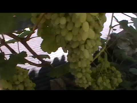 "Сорт винограда ""Гелиодор"" - сезон 2018"