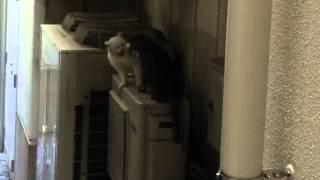 猫パンチ! 白猫と黒猫がケンカしていました・・・