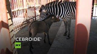 Nace un 'cebroide' en un zoo de Rusia