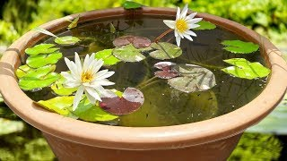 5 SECRET TIPS FOR WATER LILY FISH POND-Guppy & Molly Fish Care|TERRACE GARDEN