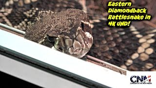 Big Eastern Diamondback Rattlesnake Seems Ready to Strike in 4K UHD - Yikes!
