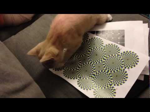 Humans Fall for Optical Illusions, But Do Cats?