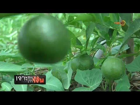 โครงการอนุรักษ์พันธุ์ส้มบางมด ตามแนวพระราชดำริสมเด็จพระเทพฯ