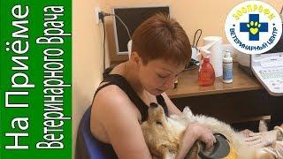 Ультразвуковое Исследование Собаки для Определения Беременности Срок 6 Недель