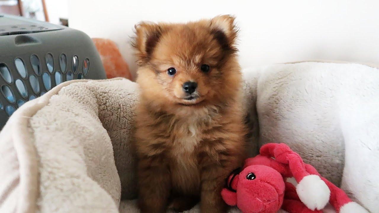 I Got A Puppy Cinco Baby Pomeranian Youtube