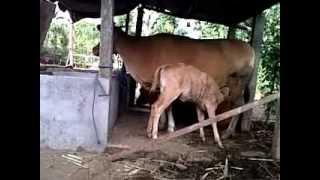 tingkah laku menyusu anak sapi bali fapet unud 2010 mahardhika 3gp