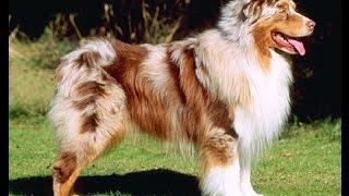 Австралийская овчарка(Австралийская овчарка создавалась путём скрещивания таких пород как пиренейская овчарка, бернский зеннен..., 2015-11-19T05:57:57.000Z)