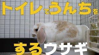 (ウサギの赤ちゃん)トイレでうんちをするウサギ ホーランドロップイヤー