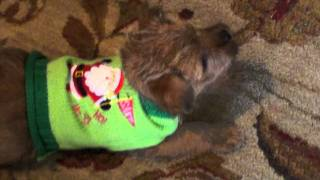 Norfolk Terrier Puppy Playing With Westie