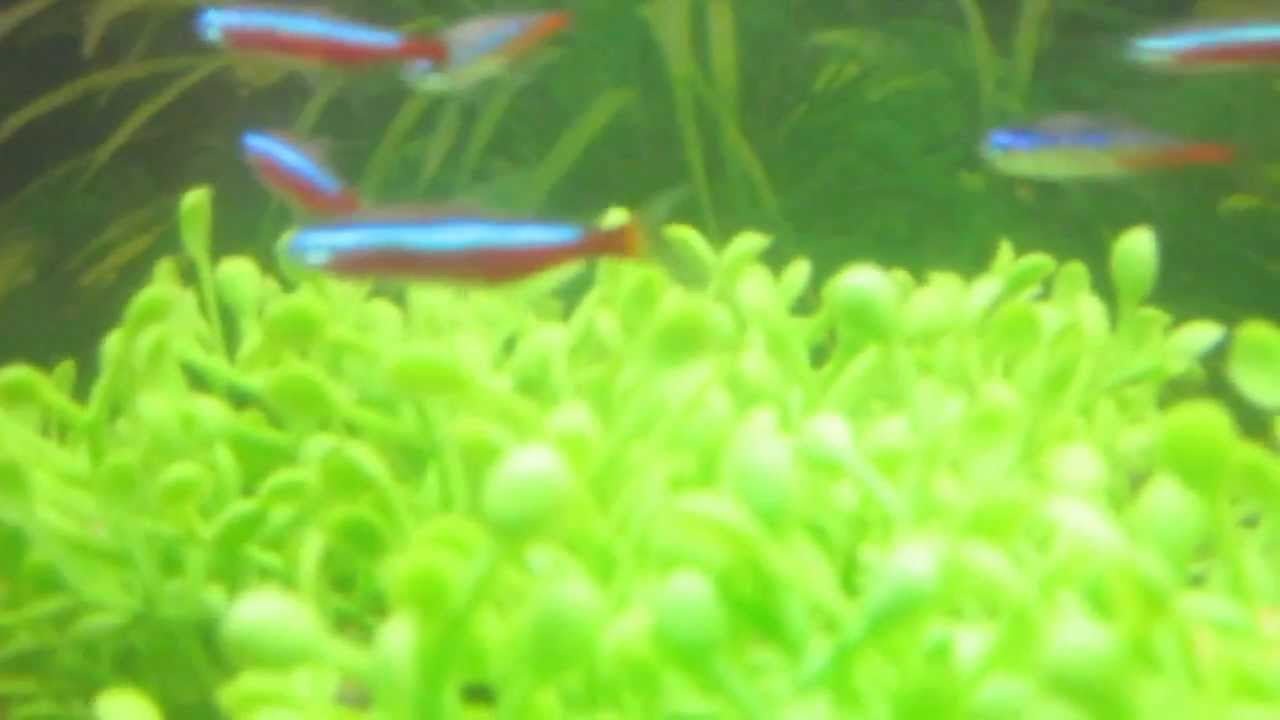 Neon tetra for sale aquariumfish net - Adding Cardinal And Neon Tetras 10 Gallon Freshwater Fish Tank Youtube
