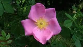 Jim Reeves - Wild Rose YouTube Videos