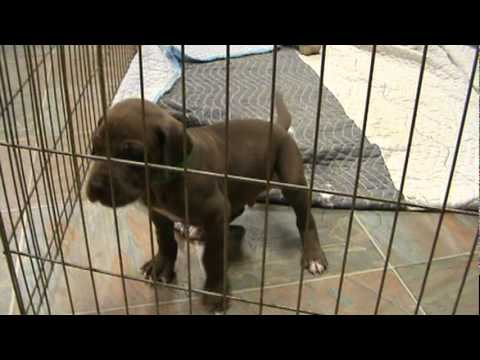 S'mores Chocolate Brown Great Dane Puppy - YouTube