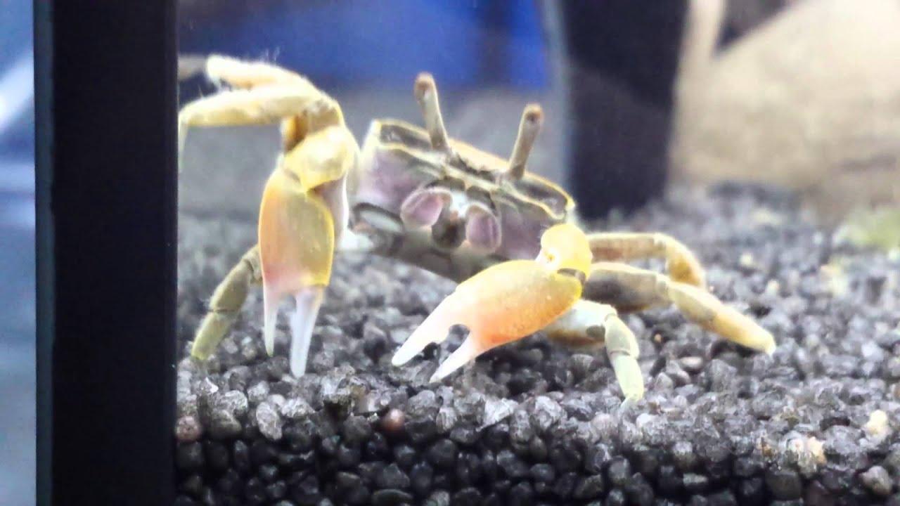 Tuto Terrarium Pour Crabe Vampire Geosesarma