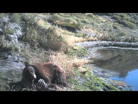 two-tone black bear on Tejon Ranch