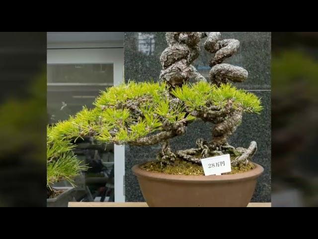 Bonsai s?u t?m 22 - B? s?u t?p nh?ng cây Thông (?en)  bonsai quái ??p nh?t trên th? gi?i.