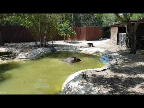 A bathing South American tapir