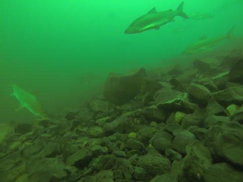 Cascadia Kayak Angler: Banks Lake Whitefish