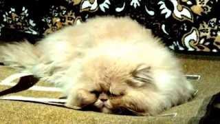 Видео о кошках. Персидский кот по имени - Пушок. ч.1